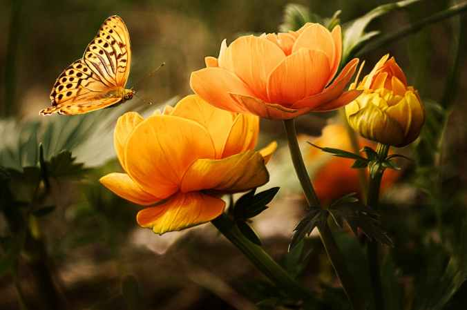 Orange flowers in garden with butterfly feeding on blooms