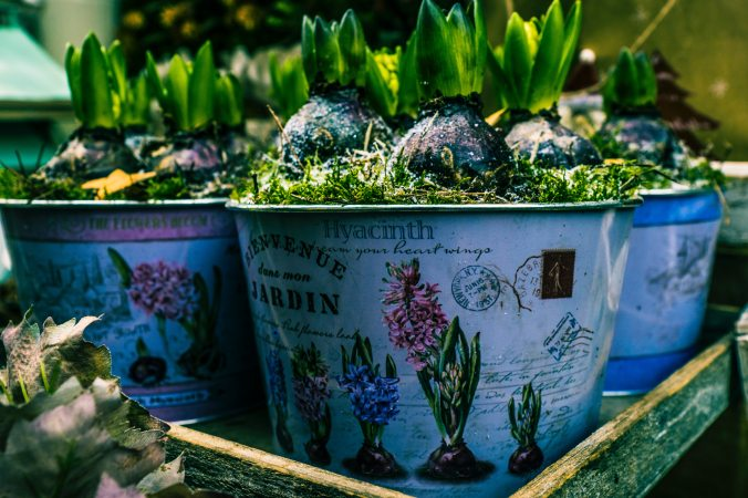 Three pots of sprouting hyacinth bulbs